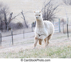 Alpaca running - Pretty white alpaca running