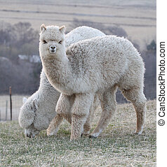 Two alpacas, one looking up - Two alpacas in a pasture, one...