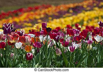 Colorful tulip field in Haymarket, Virginia.