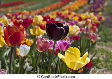 Colorful tulip field in Haymarket, Virginia