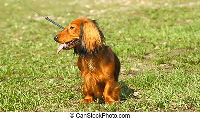 Red dachshund on the green grass