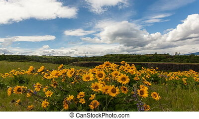 Yellow Balsamroot Wildflowers 1080p