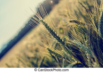 Agriculture concept - Ripening wheat field with one wheat...
