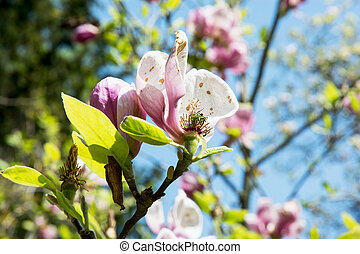 Blooming magnolia tree - Blooming magnolia in spring garden