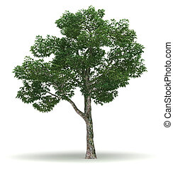 Single Chinar Tree - Single Platanus Tree isolated white...