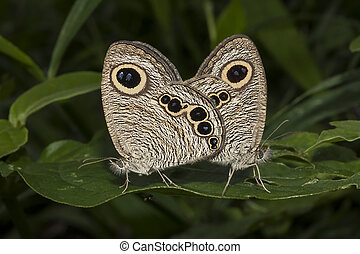 Butterfly common five ring, Ypthima baldus, mating -...
