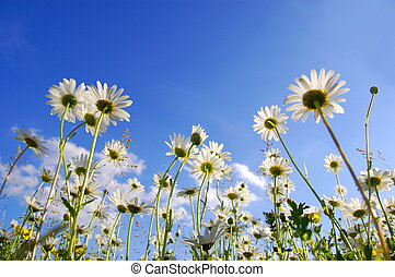 daisy flower from below with blue sky in summer