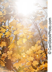 Sun in maple branches - Sun shining though orange fall...