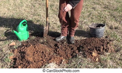 planting young apple tree sprout - worker in farm orchard...