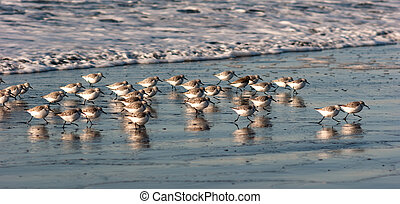 Sandpiper Birds Run Up Beach Feeding Sand Ocean Surf -...