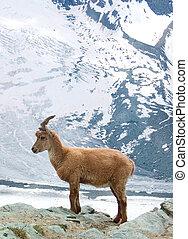Mountain Goat in Switzerland Europe