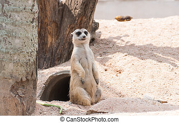 Stand Meerkat - Upstanding Meerkat childlike in the zoo of...
