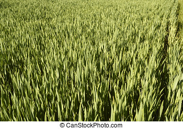 Wheat grass - A field of wheat grass, close-up in the month...