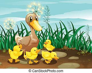 a, canard, elle, Canetons, prairie
