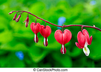 Bleeding Heart Flowers - Red bleeding heart flowers bloom in...