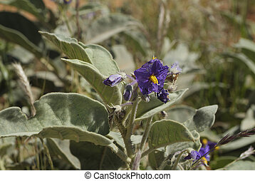 Australia, Botany - Australia, Flannel Bush