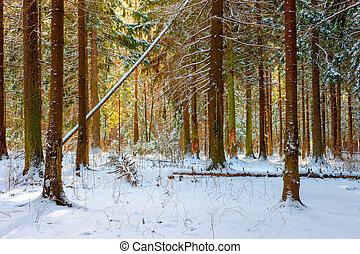 Russian beautiful fir forest on a winter morning