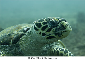 Hawksbill turtle - A Hawksbill turtle chewing on a crinoid