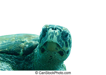 Hawksbill turtle - This turtle is selected and placed on a...