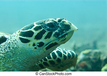 Hawksbill turtle - A Hawksbill turtle swims right