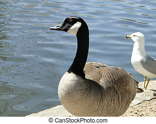 Water Birds - A Canadian Goose and Seagull both gaze out...