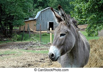 donkey in pasture - mule in pasture with barn in background