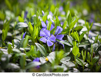 flower vinca minor - Periwinkle (Vinca minor) small plants...