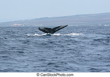Humpback Whale Tail - the tail of a humpback whale breaks...