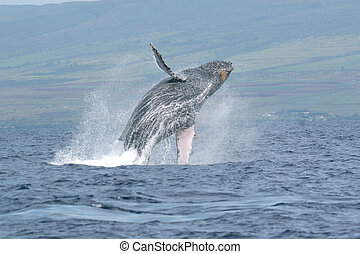Breaching Humpback - a humpback whale breaching off the...