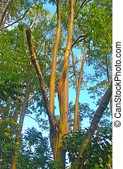 Rainbow Euclyptus Tree - a beautiful rainbow eucalyptus tree...
