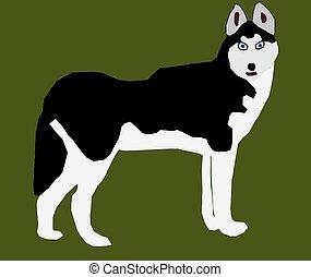Siberian Husky - A Siberian Husky with his head turned on a...