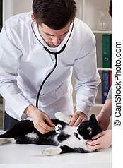 Veterinary caring of a cat - Young veterinary caring of a...