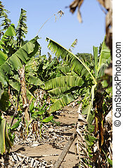 Banana plantation in west Africa