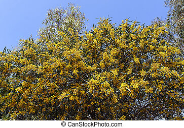 Mimosa tree - A mimosa tree by a sunny spingtime day