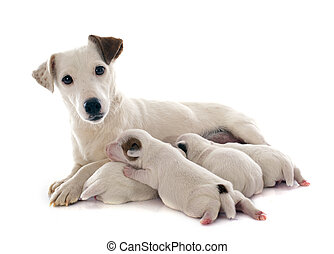 family jack russel terrier - adult and puppies jack russel...