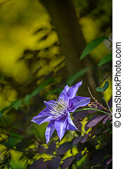 Clematis flower-President in garden.Nature background.