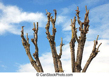 Pruned Tree on a Blue Sky - Detail of the upper part a...