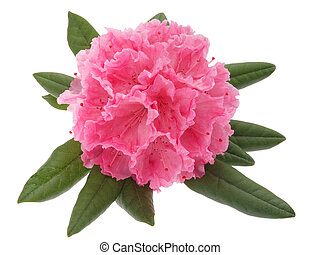 rhododendron - flower isolated