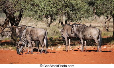 Blue wildebeest Connochaetes taurinus irritated by biting...