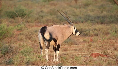 Gemsbok antelope (Oryx gazella) in natural habitat, South...