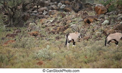 Gemsbok running - Gemsbok antelopes Oryx gazella running in...