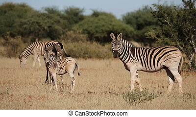 Plains Zebras and foal - Plains (Burchells) Zebras (Equus...