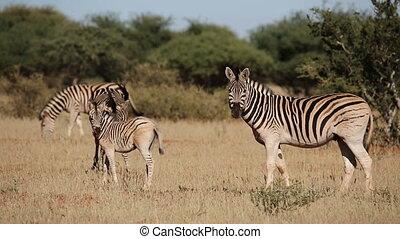 Plains Zebras and foal - Plains (Burchells) Zebras (Equus...