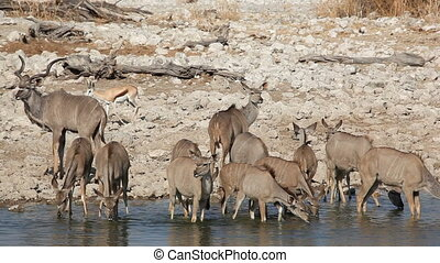 Kudu antelopes at waterhole - Kudu antelopes Tragelaphus...