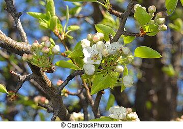 Flowers pears
