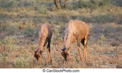 Tsessebe antelopes grazing - Two tsessebe antelopes...