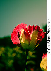 Pink opuim poppy flower with clear sky