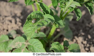potato bug plant leaf