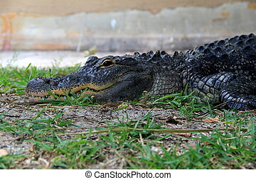 Much feared alligator - The American alligator is a much...