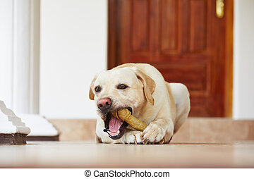 Dog with bone - Labrador retriever with bone is waiting at...